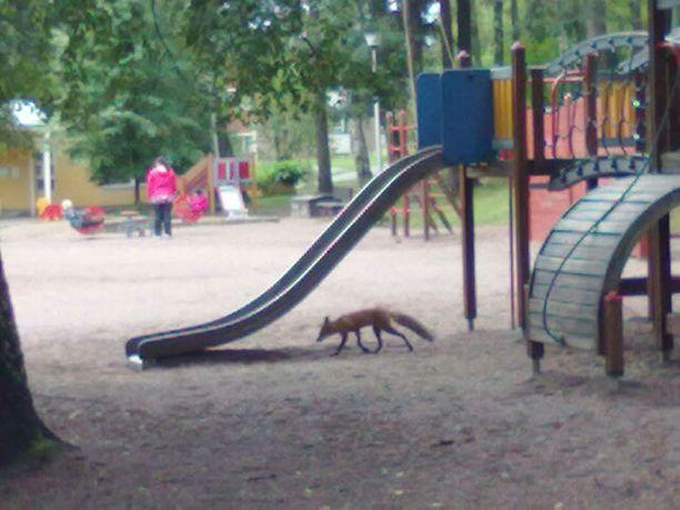 Kettu temmeltää Tuhkimon leikkipuistossa, Roihuvuoressa.
