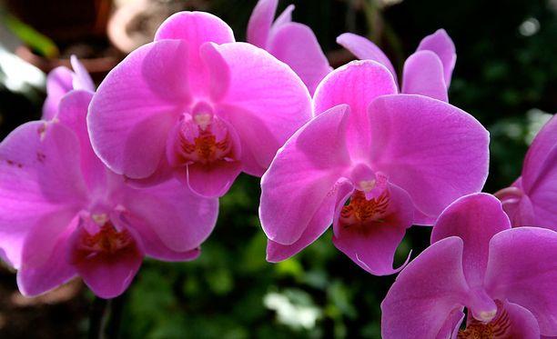 Orkideankin saa kukkimaan uudestaan.