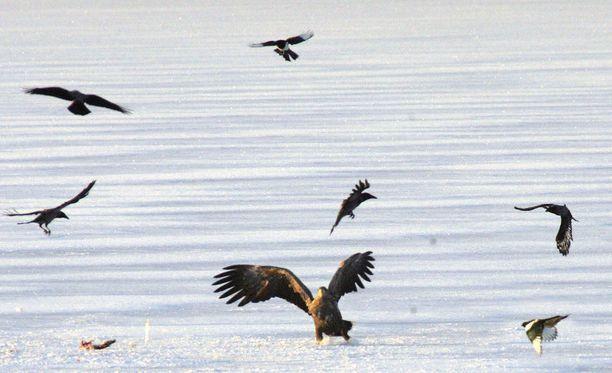 Merikotkassa todettiin lintuinfluenssa Tanskassa. Kuvituskuva.