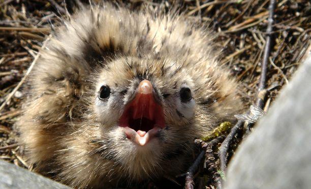 Pelastuslaitokselle tulee ilmoituksia muun muassa yksinäisistä linnunpoikasista, vaikka niillä ei välttämättä olekaan hätää.