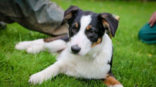 Jessistä tulee isona lampaita työkseen paimentava koira, jos se vaan oppii tavoille koiran kouluttamisessa kokemattoman isäntänsä opissa.