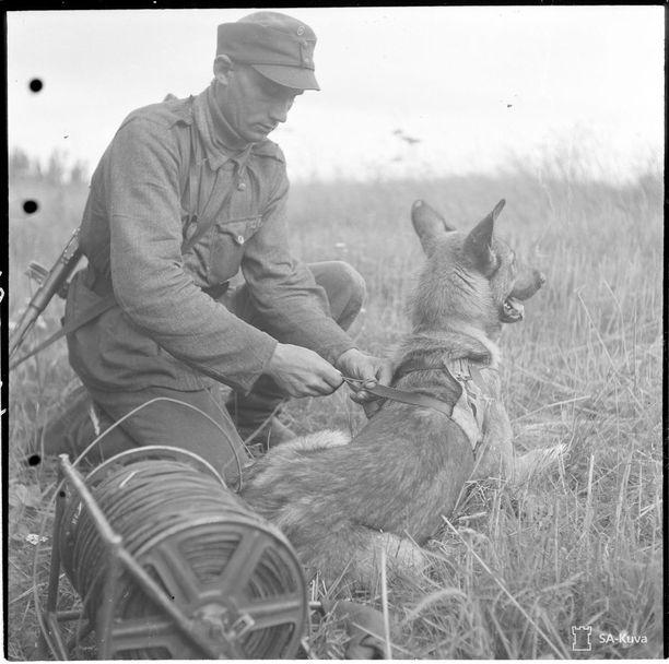 Yksi sotakoirien tärkeimmistä tehtävistä oli auttaa yhteyksien luomisessa. Toisinaan koira veti viestikaapelia eli tapsia, jonka pää kiinnitettiin koiran valjaisiin. Kuva Harlun seudulta 31.8.1944.