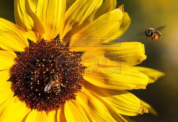 Tutkimuksen mukaan mehiläiset osaavat laskea käyttäen varsin pientä joukkoa hermosoluja.