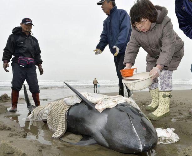 Paikalliset kastelivat kärsiviä delfiinejä.