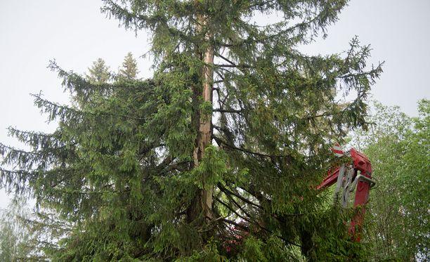 Pallosalaman tuhotaival alkoi 35-metrisestä kuusesta.