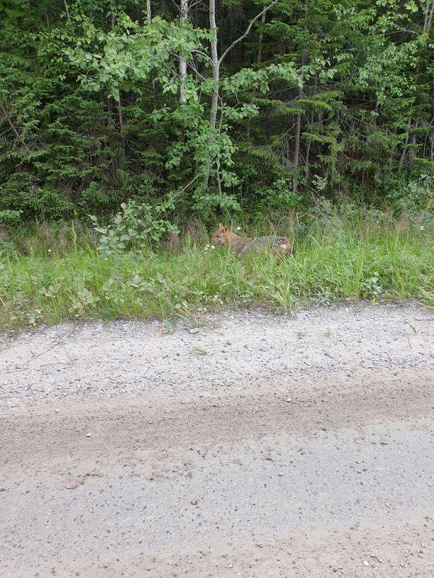 Suomessa tehtiin ensimmäinen vahvistettu havainto sakaalista Pohjois-Savossa.