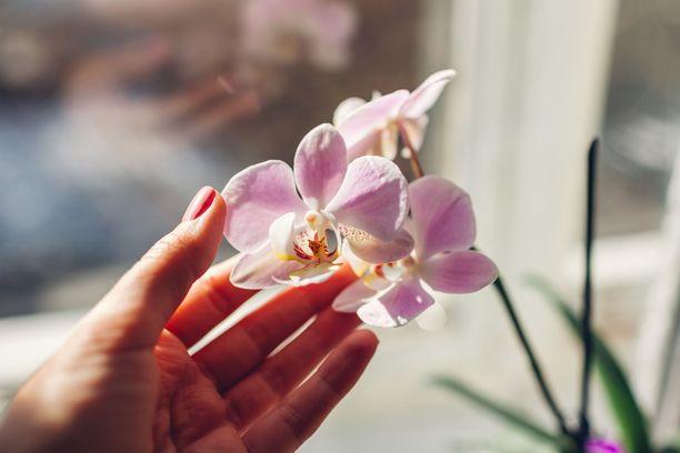 Orkideat ovat suosittuja lahjoja.