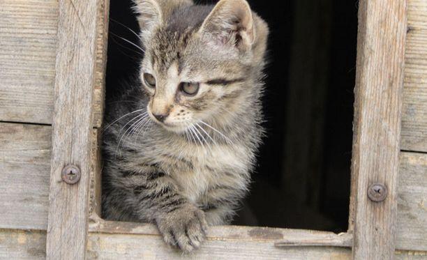 Eläinlääkärin mukaan vapaasti lisääntymään päässeet kissat olivat myös sisäsiittoisia.