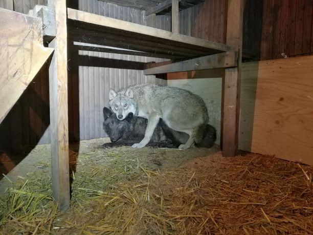 Poliisi löysi Orimattilasta kaksi pelokkaan näköistä, suurikokoista koiraeläintä.
