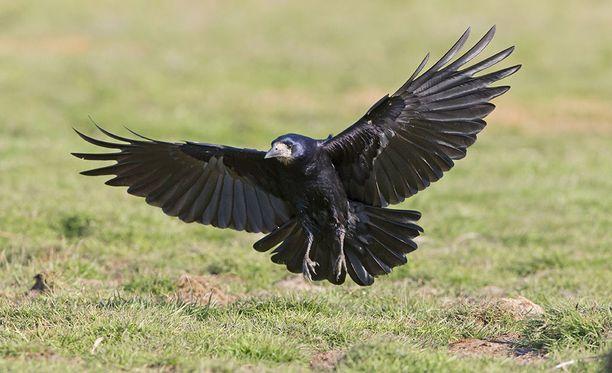 Ranskalaisessa huvipuistossa kuusi koulutettua mustavarista (Corvus frugilegus) kerää roskia ruokapalkkiota vastaan neljänä päivänä viikossa. Kuvituskuva.