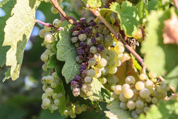 Tänä vuonna saksalaiset viiniviljelijät ryhtyivät korjaamaan satoja viikkoja etuajassa Eurooppaa korventaneen hellejakson vuoksi. Kuva on otettu Heppenheimissa 16. elokuuta.