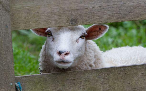Lampaita laittomasti teurastanutta miestä epäillään muun muassa törkeästä eläinsuojelurikoksesta. Epäillyt teot sijoittuat vuosille 2016–2020. Kuvituskuva.