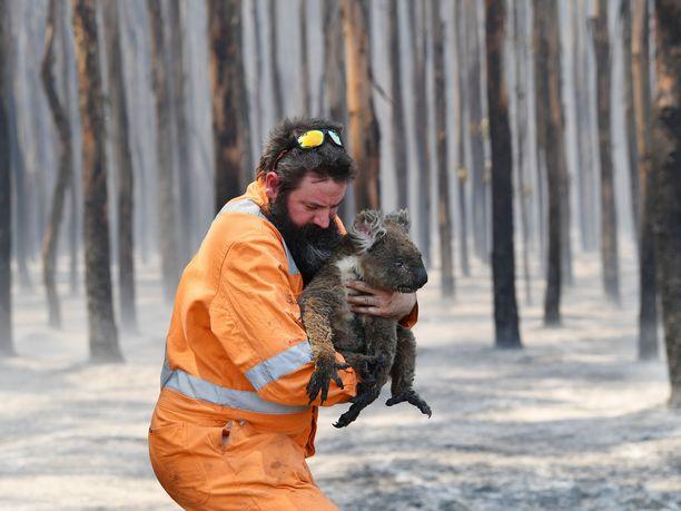 Australian koalakanta on kärsinyt pahasti maastopalojen takia.