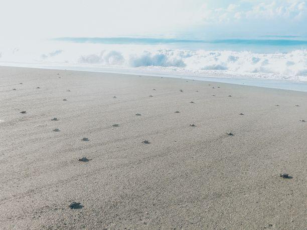 Vastasyntyneet kilpikonnan poikaset suuntaavat kohti merta. Tämä on erittäin vaarallinen vaihe, koska korppikotkat vaanivat lähipuissa saalistaan. Vapaaehtoisten ansiosta poikasten elinmahdollisuudet monikertaistuvat.