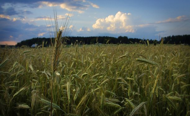Ilmastonmuutoksen takia isot viljantuotantoalueet kuivuvat ja ruoan hinta nousee.