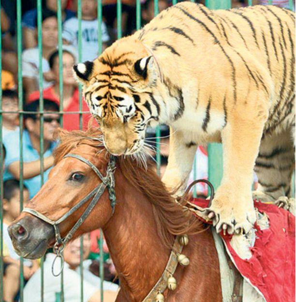 Näin sujuu tiikerin ja hevosen yhteispeli kuin leikki vaan sirkuksessa Xiamenissa Kiinassa.