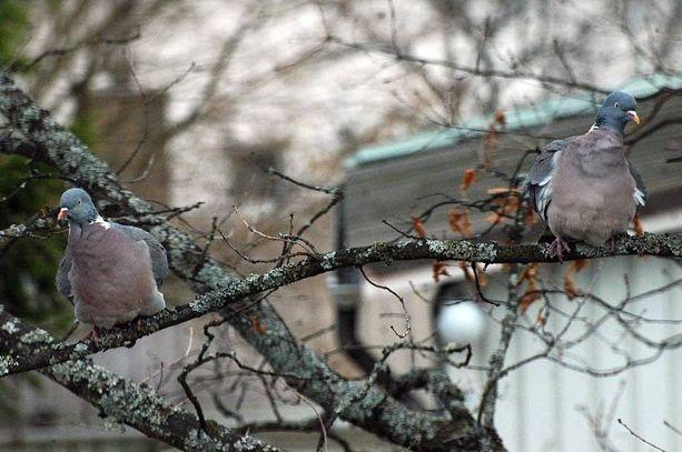 Minuutin aktin jälkeen linnut erkaantuvat toisistaan. Tunnelma vaikuttaa kiusaantuneelta. Etenivätköhän tirpat suhteessaan sittenkin liian nopeasti.