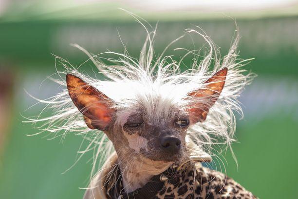 Rascal Deux on luonnollisesti karvaton chihuahua. Koira on varsinainen konkari: se on voittanut kilpailun monta kertaa. Kuvassa Rascal Deux vuonna 2016.