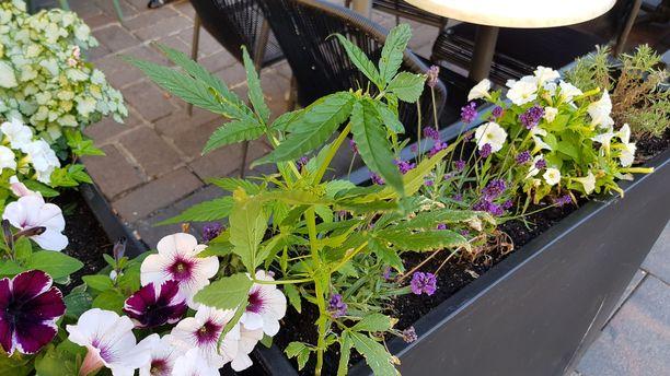 Robert's Coffeen kukkapenkkiin oli ilmestynyt yllätys.
