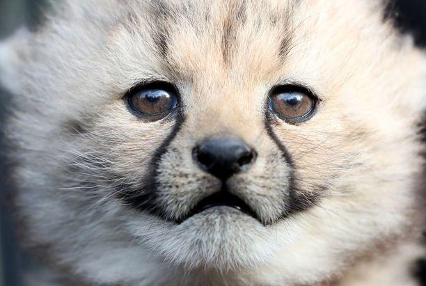 Pienet gepardit kiinnostuivat heitä katsomaan saapuneista ihmisistä. Myös aitauksen kasvit ja kuolleet lehdet kiinnostivat pieniä.