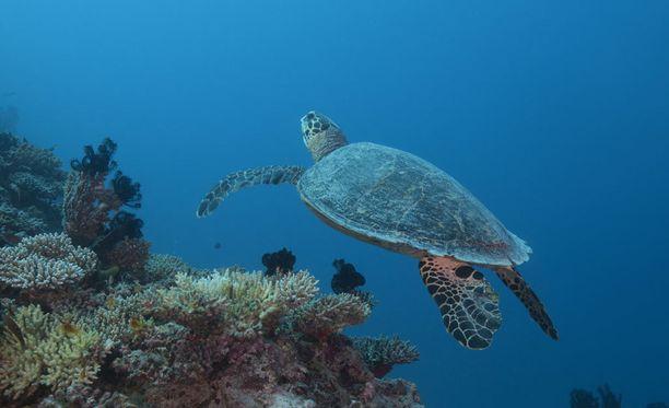 Katkaravunpyynti vaarantaa merikilpikonnia.