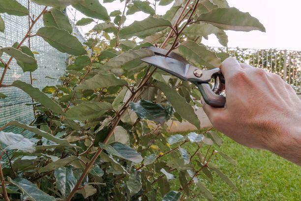 Syksy on parasta aikaa leikata pihan puita ja pensaita.