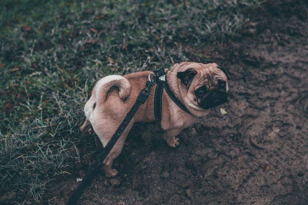 Eläinlääkäri Suvi Heinola pitää lyhytkuonoisille roduille suunniteltua kävelytestiä parhaana työkaluna hengitysteiden arvioimiseen, mutta hän kehottaa kiinnittämään huomiota muuhunkin kuin siihen, onko testi mennyt läpi. - Testituloksesta ei pitäisi ajatella vain, että onko se läpäisty vai ei, sillä siitä saadaan myös informaatiota, kuinka nopeasti koira pystyy kävelemään sekä mikä sen BOAS-luokitus on.