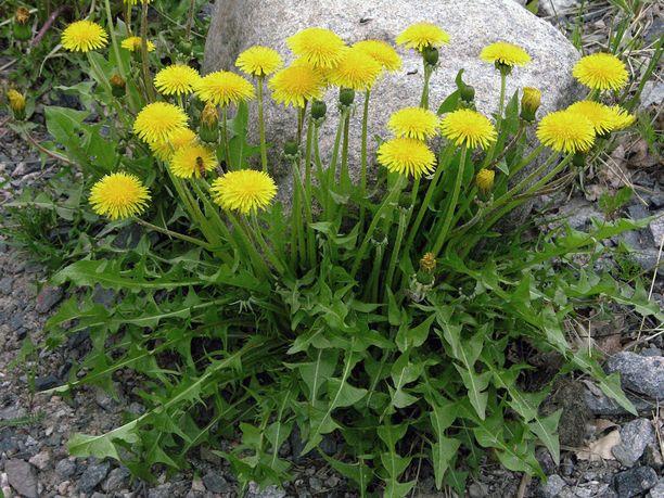 Voikukan lehdet sopivat salaattiin, kukista voi valmistaa vaikkapa juomaa.