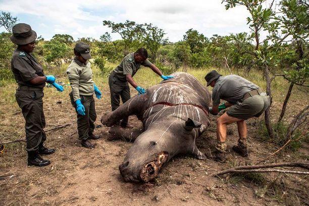 Sarvikuonojen salametsästys on maailmanlaajuinen ongelma. Kuvan eläin salametsästettiin Etelä-Afrikassa kaksi viikkoa sitten.