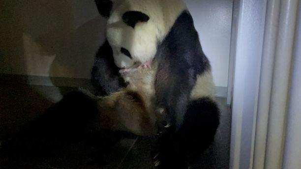 Uudelleen äidiksi tullut Shin Shin sekä pieni poikanen kuvattuna Uenon eläintarhassa eilen keskiviikkona.