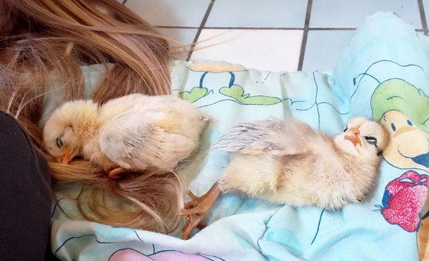 Johanna Mäkelän kananpojat täyttivät tiistaina viikon. Kodinhoitohuoneen lämpimällä lattialta on hyvä keräillä voimia.