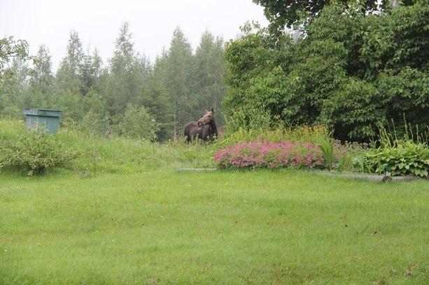 Hirvet viihtyivät pihapiirissä noin vartin verran. Etäisyyttä taloon oli vain kolmisenkymmentä metriä.