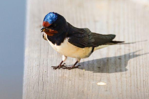 Ilmastonmuutos tekee tutkimuksen mukaan linnuista pienempiä. Kuvassa haarapääsky.
