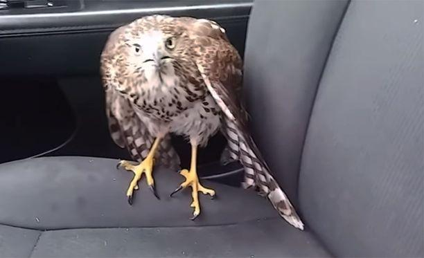Haukka pöllähti myrskyn keskeltä sisään taksiin eikä halunnut lähteä pois.
