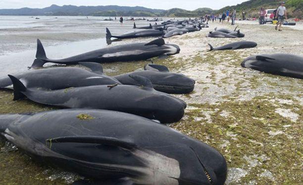 Viranomaisten on keksittävä keino päästä eroon sadoista rannalla retkottavista kuolleista valaista.