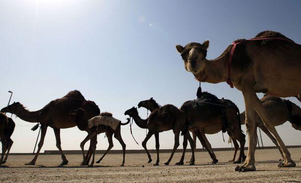 Kolari sattui Jönköpingin länsipuolella varhain tiistaina. Viiden kamelin lauma oli karannut kiertävästä sirkuksesta.