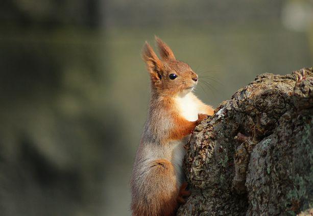 Oravat ovat Suomessakin yleisiä.