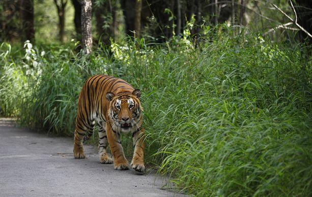 Bengalin tiikeri Bannerghattan kansallispuistossa. Avni-nimisen tiikeriemon pentuja etsitään Intiassa. (Kuvituskuva)