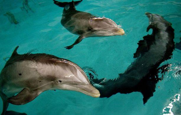 Särkänniemessä uiskentelee tällä hetkellä viisi pallonokkadelfiiniä: Veera, Näsi, Delfi, Leevi ja Eevertti.