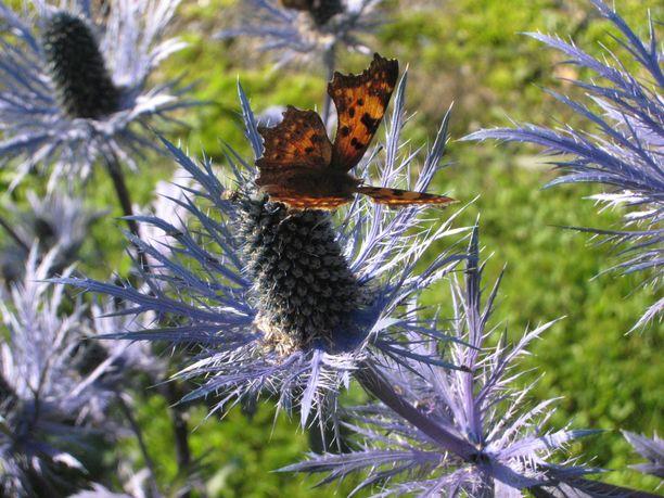 Alppipiikkiputki on saanut vieraakseen liuskaperhosen.