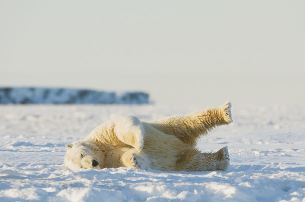 Jääkarhu kuvattu Beaufortinmerellä kiistellyn suojelualueen vierellä Alaskassa vuonna 2012.