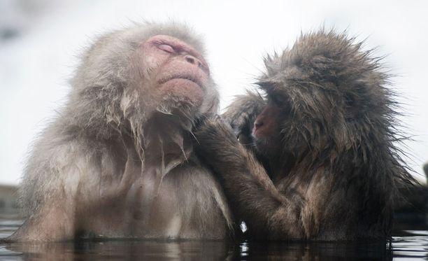 Makakit saavat apinakylpylässään myös herkkuja. Ne poimivat jyvät vedestä monin eri tekniikoin.