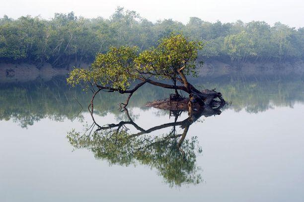 Sundarbansin kansallispuisto kärsii muun muassa veden pinnan noususta.