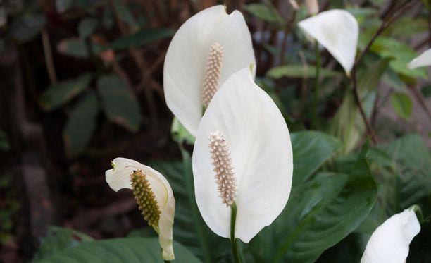 Viirivehkassa on eksoottiset valkeat kukat.