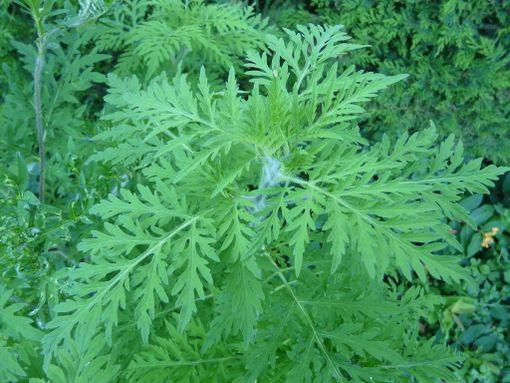 Marunatuoksukin kapealiuskaiset ja karvaiset lehdet sijaitsevat pääasiassa vastakkain.
