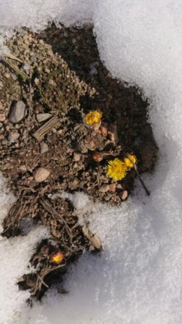 Eräs Iltalehden lukija kertoi nähneensä kevään ensimmäiset leskenlehdet jo viime viikon torstaina. Luonto-Liiton mukaan havainto on poikkeuksellisen aikainen.
