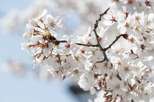 Lähikuva herkän kauniista kukista. Kirsikankukka onkin Japanin kansalliskukka.