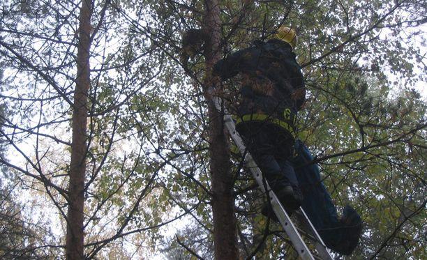 Lehmossa puu jouduttiin lopulta kaatamaan, kun kissa ei suostunut tulemaan alas vuonna 2006. Kissa yritti vielä viime hetkellä kiivetä palomiestä karkuun kohti latvaa.