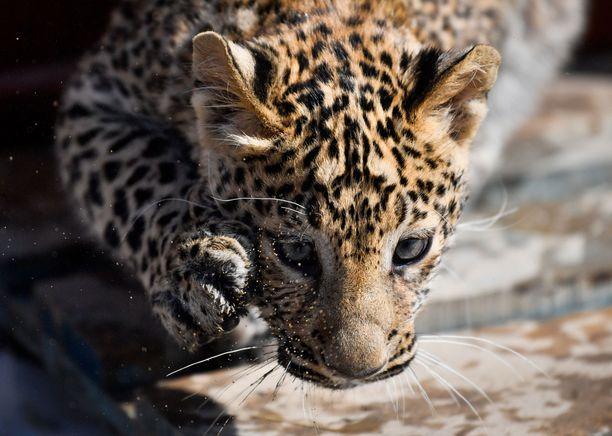 Leopardia etsitään kiivaasti. (Kuvituskuva)