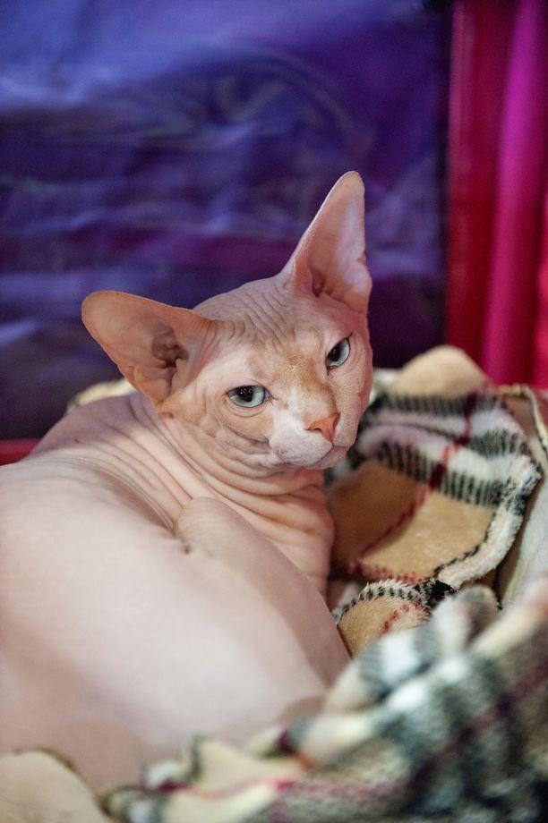 Sfinxillä ei ole karvan karvaa. Karvattomuudesta huolimatta ihonhoitoon on kiinnitettävä huomiota. Kissa pestään säännöllisesti, koska sen iholta erittyvä rasva ei imeydy turkkiin.